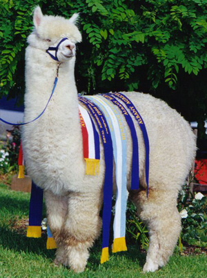 Alpaca with ribbons